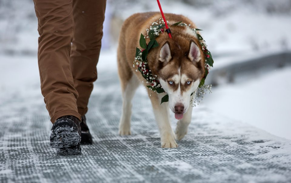 Husky snow dog with flower wreath walking in snow to wedding ceremony
