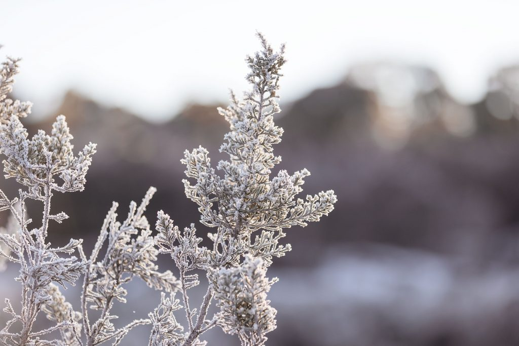Foliage with snow and frost